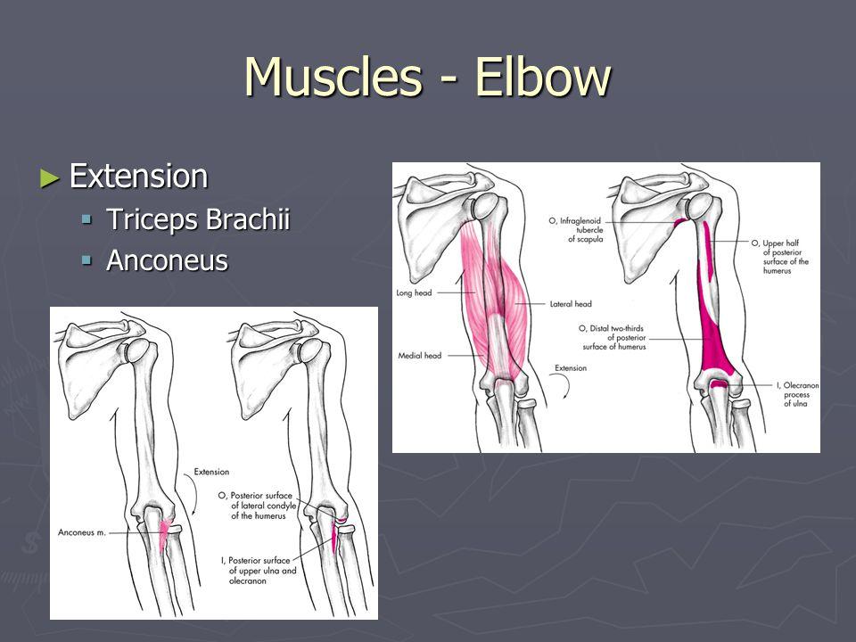 Muscles - Elbow ► Pronation  Pronator Teres  Pronator Quadratus  Brachioradialis