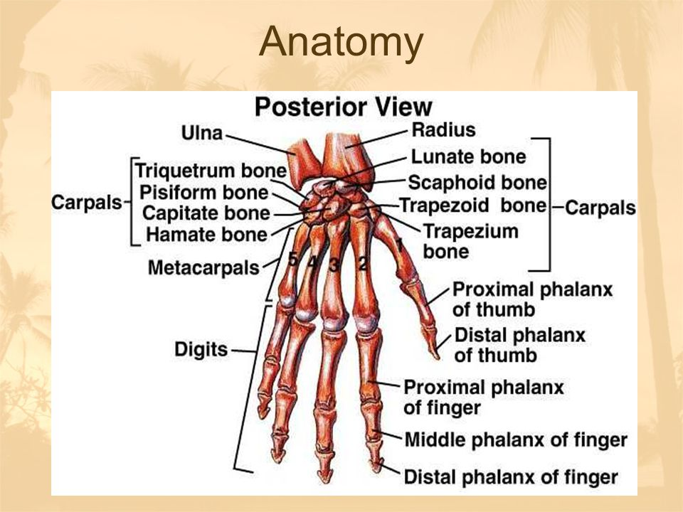Anatomy-Carpal Bones Some lovers try positions that they can't handle Scaphoid, Lunate, Triquitral, Pisiform, Trapezium, Trapezoid, Capitate, Hamate http://www.gwc.maricopa.edu/class/bio201/ha nd/awrist.htmhttp://www.gwc.maricopa.edu/class/bio201/ha nd/awrist.htm