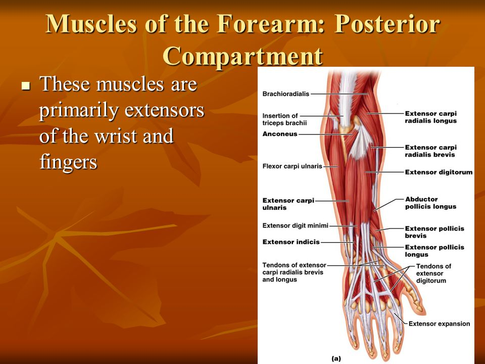 Muscles of the Forearm: Posterior Compartment These muscles are primarily extensors of the wrist and fingers These muscles are primarily extensors of