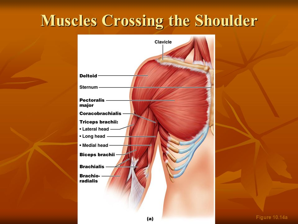 Muscles Crossing the Shoulder Figure 10.14a