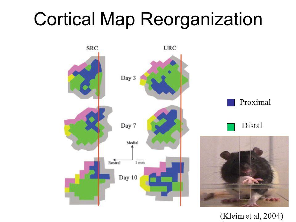(Kleim et al, 2004) Cortical Map Reorganization Proximal Distal