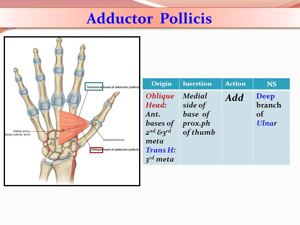 NS ActionInsertionOrigin Deep branch of Ulnar Add Medial side of base of prox.ph of thumb Oblique Head: Ant. bases of 2 nd &3 rd meta Trans H: 3 rd me