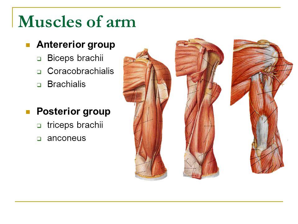 Muscles of arm Antererior group  Biceps brachii  Coracobrachialis  Brachialis Posterior group  triceps brachii  anconeus