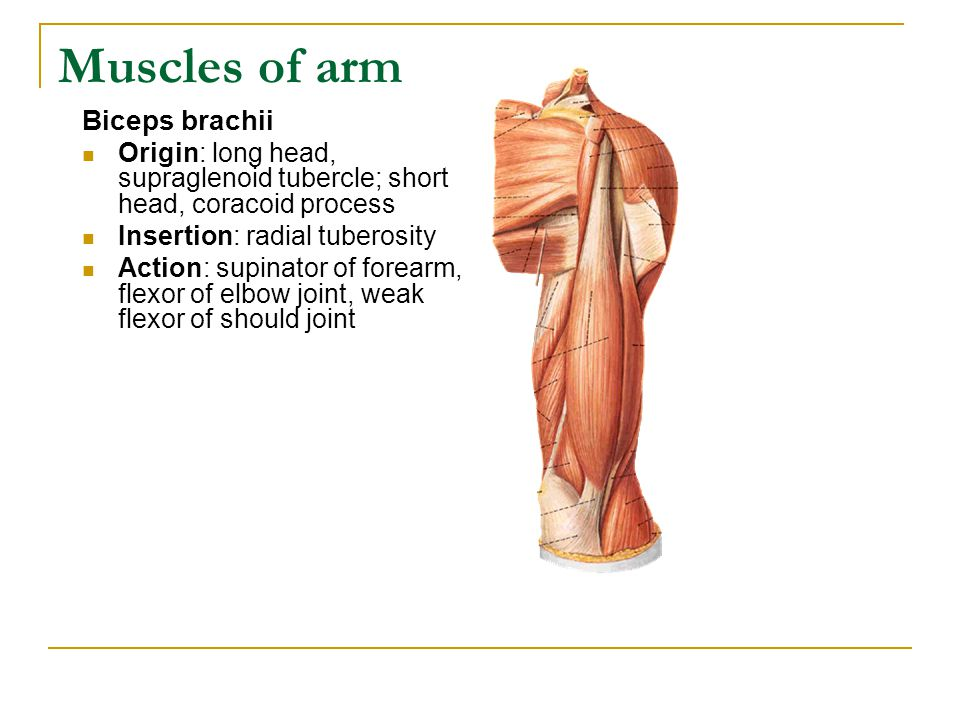 Muscles of arm Biceps brachii Origin: long head, supraglenoid tubercle; short head, coracoid process Insertion: radial tuberosity Action: supinator of