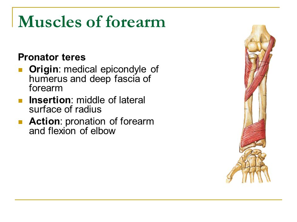 Muscles of forearm Pronator teres Origin: medical epicondyle of humerus and deep fascia of forearm Insertion: middle of lateral surface of radius Acti