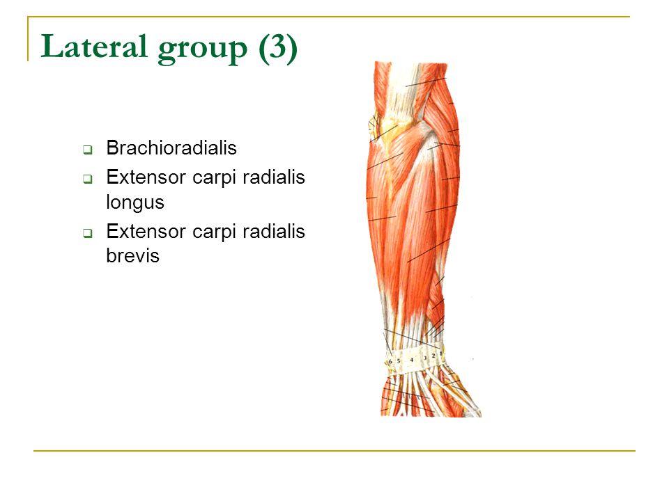 Lateral group (3)  Brachioradialis  Extensor carpi radialis longus  Extensor carpi radialis brevis