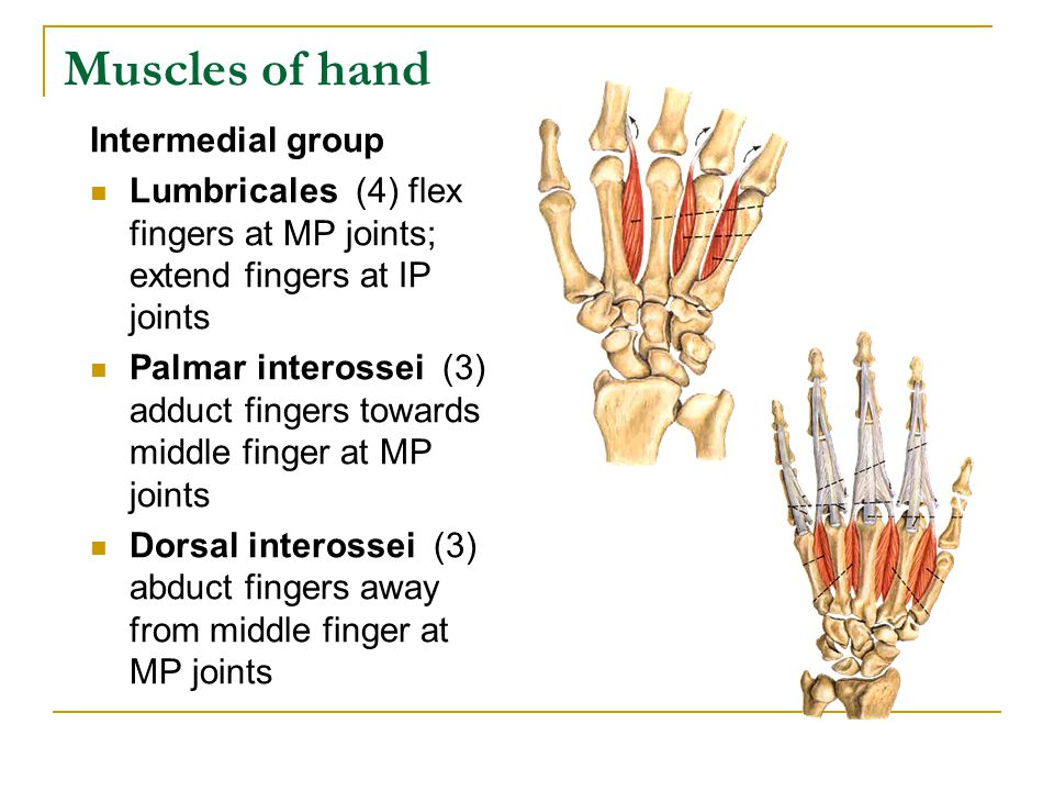 Muscles of hand Intermedial group Lumbricales (4) flex fingers at MP joints; extend fingers at IP joints Palmar interossei (3) adduct fingers towards