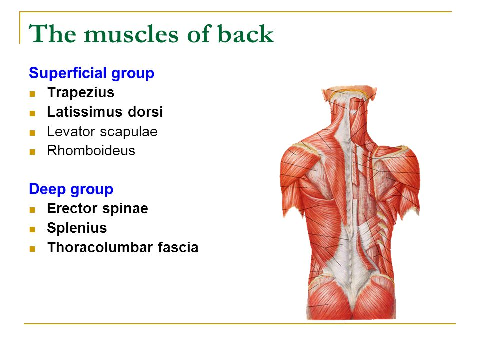 The muscles of back Superficial group Trapezius Latissimus dorsi Levator scapulae Rhomboideus Deep group Erector spinae Splenius Thoracolumbar fascia