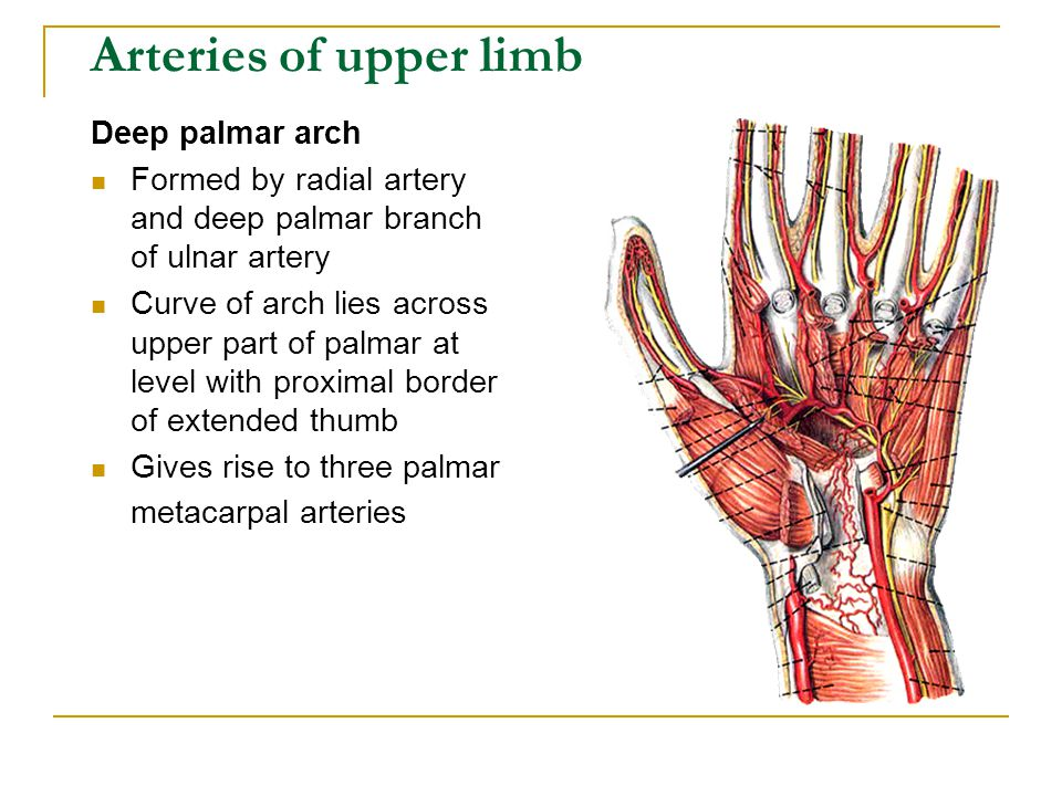 Deep palmar arch Formed by radial artery and deep palmar branch of ulnar artery Curve of arch lies across upper part of palmar at level with proximal