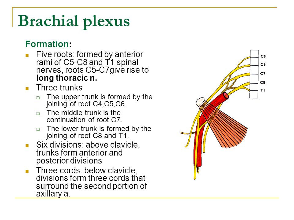 Brachial plexus Formation : Five roots: formed by anterior rami of C5-C8 and T1 spinal nerves, roots C5-C7give rise to long thoracic n. Three trunks 