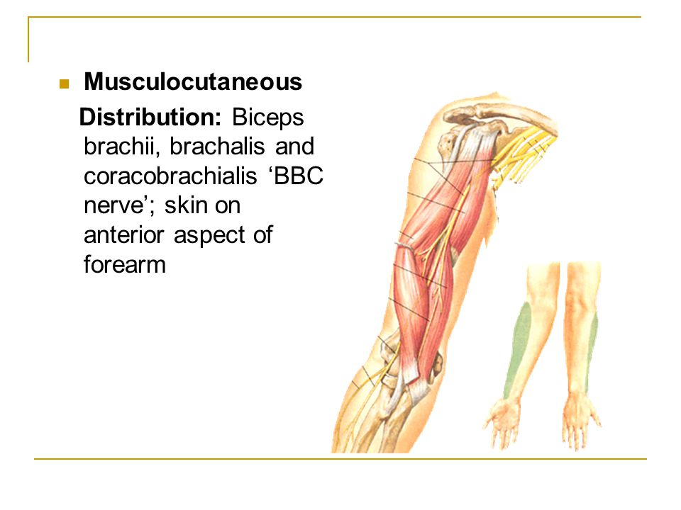 Musculocutaneous Distribution: Biceps brachii, brachalis and coracobrachialis 'BBC nerve'; skin on anterior aspect of forearm
