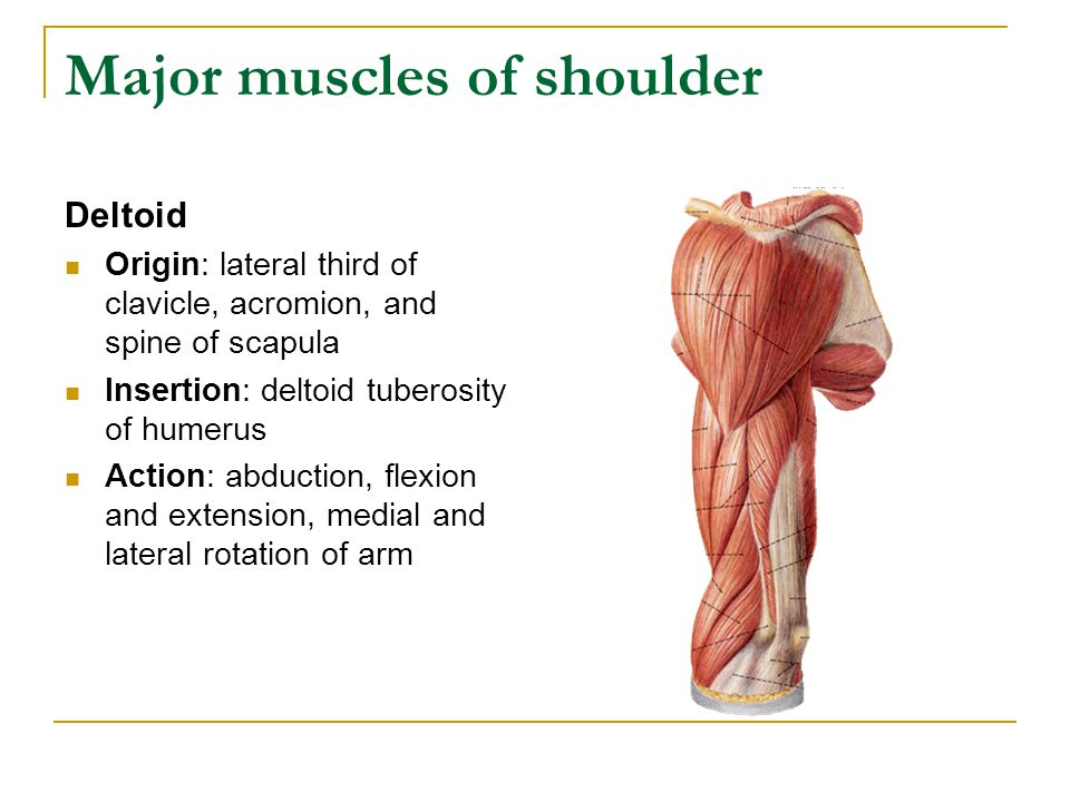 Major muscles of shoulder Deltoid Origin: lateral third of clavicle, acromion, and spine of scapula Insertion: deltoid tuberosity of humerus Action: a