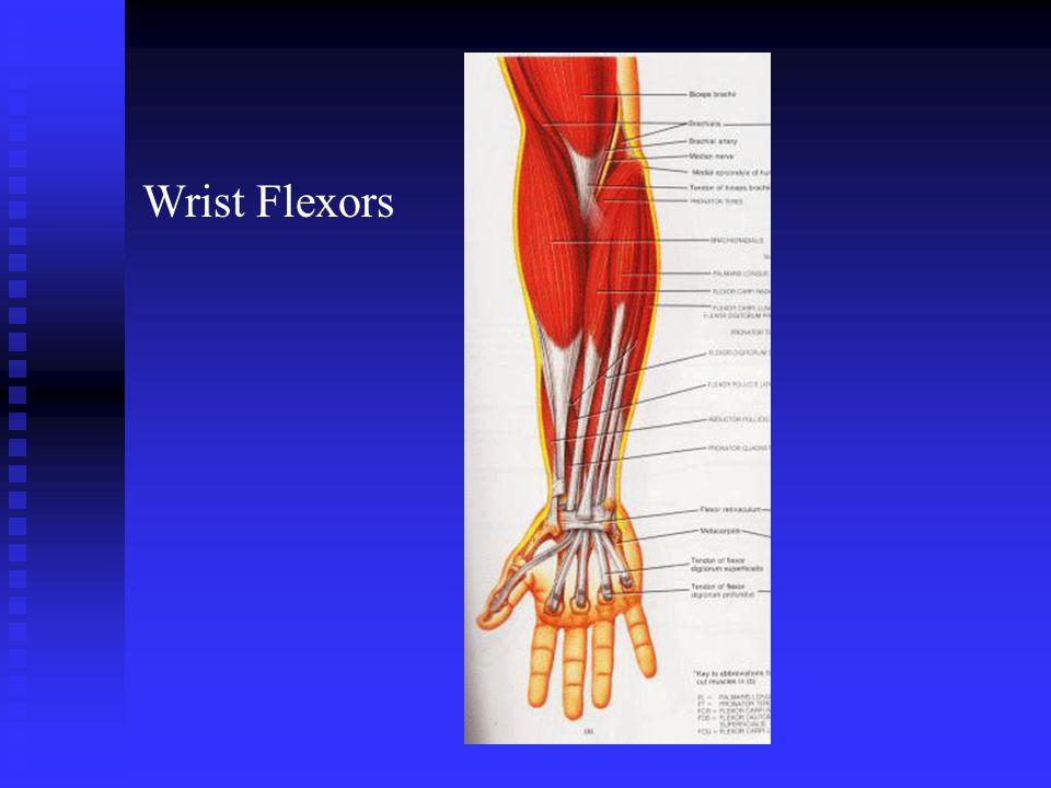Wrist Flexors