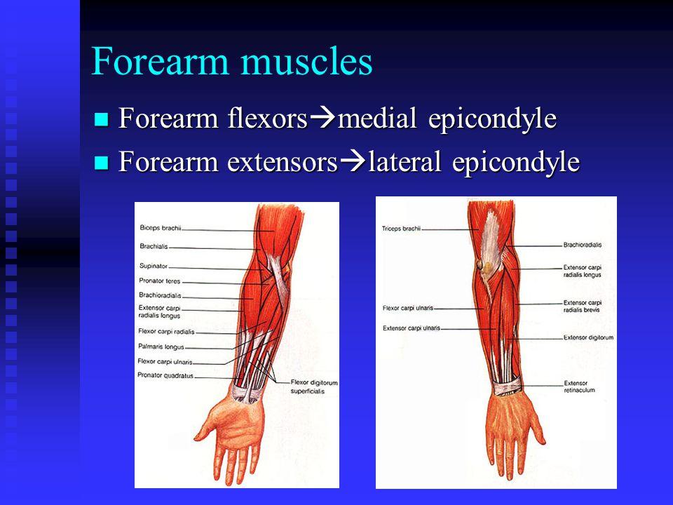 Forearm muscles Forearm flexors  medial epicondyle Forearm flexors  medial epicondyle Forearm extensors  lateral epicondyle Forearm extensors  lateral epicondyle