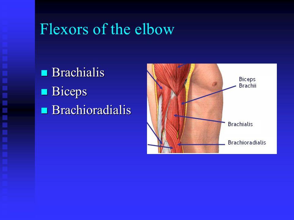Flexors of the elbow Brachialis Brachialis Biceps Biceps Brachioradialis Brachioradialis