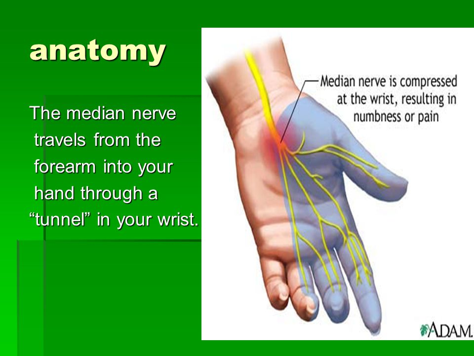 """anatomy The median nerve travels from the travels from the forearm into your forearm into your hand through a hand through a """"tunnel"""" in your wrist."""