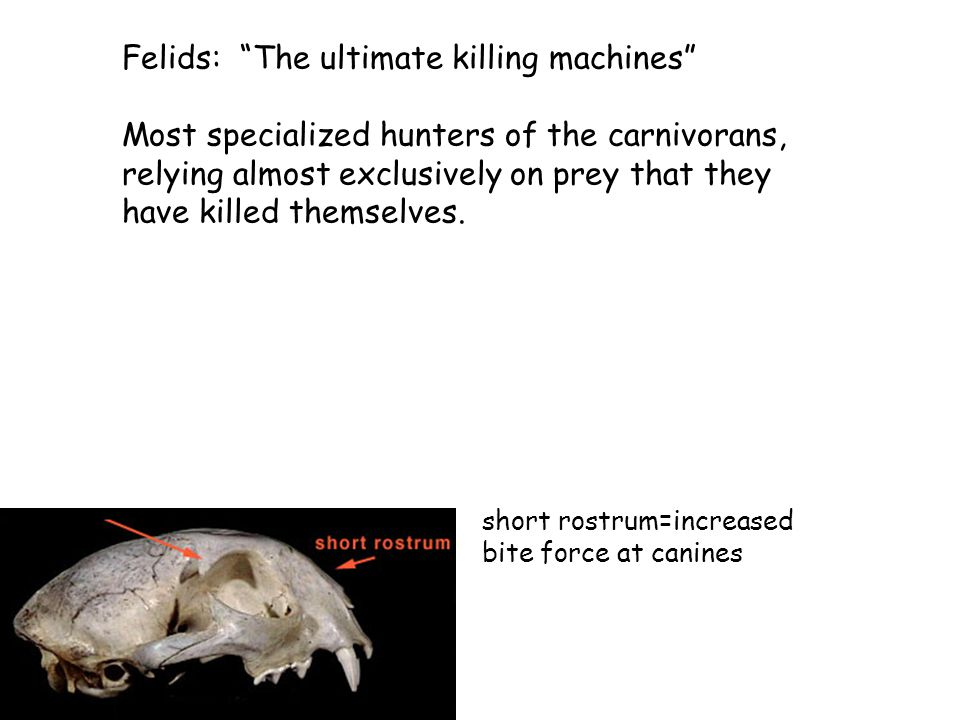 Felids: The ultimate killing machines Most specialized hunters of the carnivorans, relying almost exclusively on prey that they have killed themselves.
