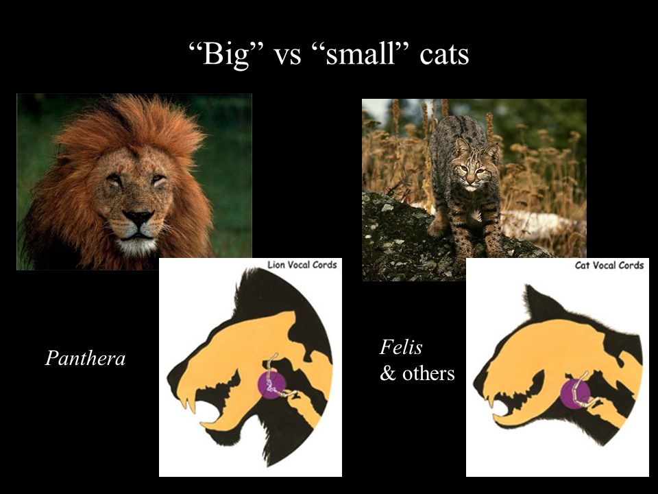 Panthera Felis & others Big vs small cats