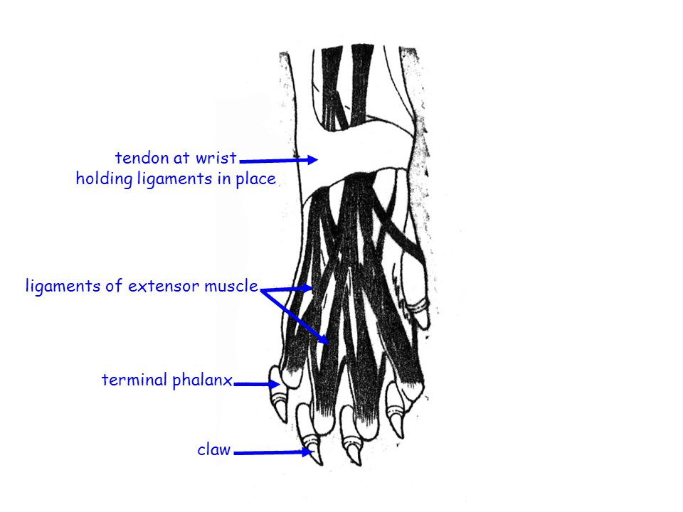 tendon at wrist holding ligaments in place ligaments of extensor muscle terminal phalanx claw