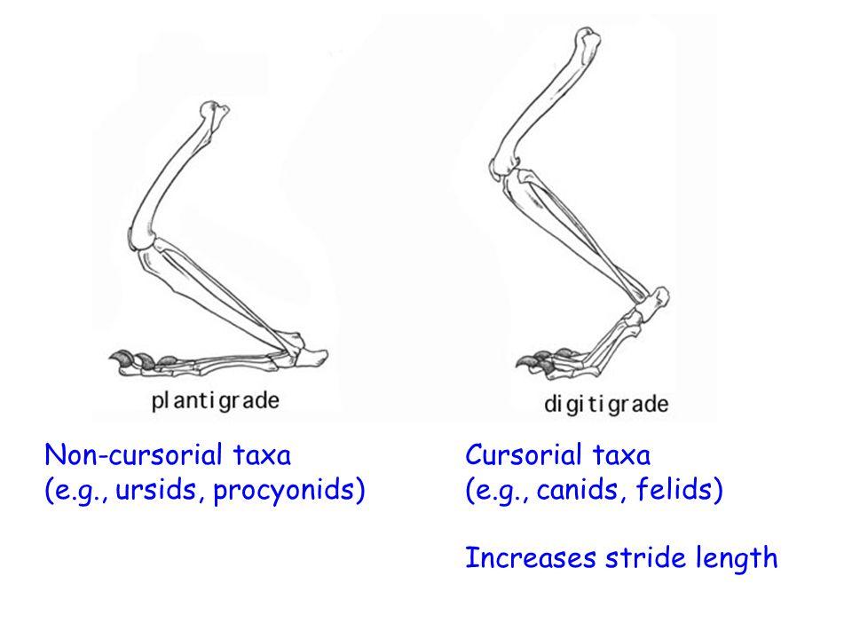 Non-cursorial taxa (e.g., ursids, procyonids) Cursorial taxa (e.g., canids, felids) Increases stride length
