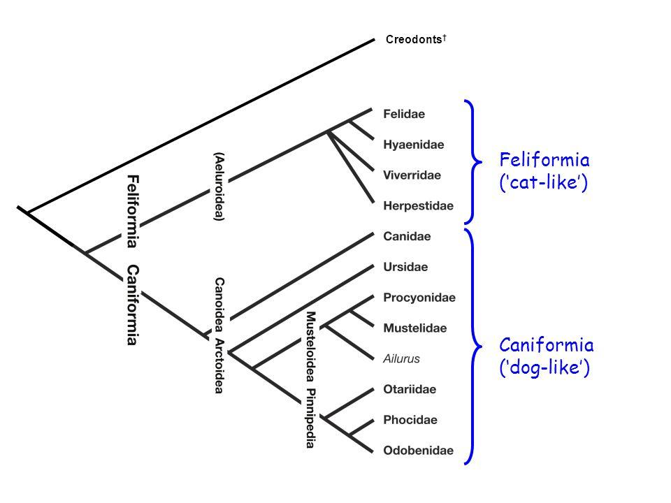 Creodonts † Feliformia ('cat-like') Caniformia ('dog-like')
