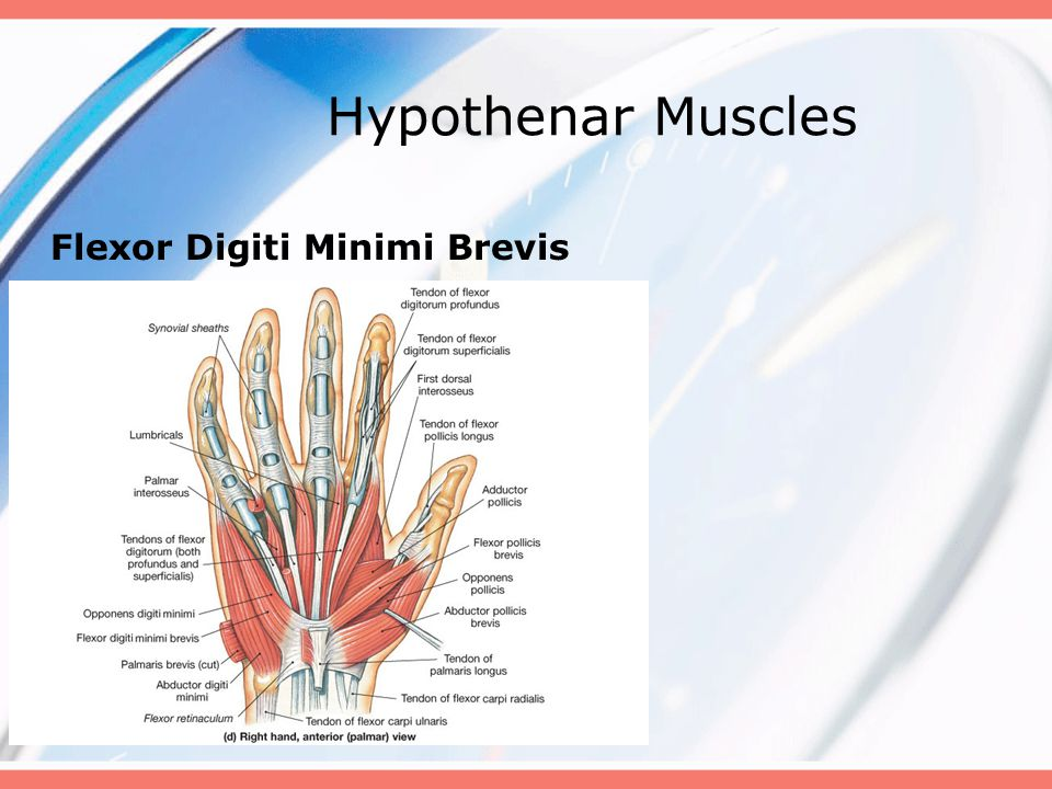 Hypothenar Muscles Flexor Digiti Minimi Brevis