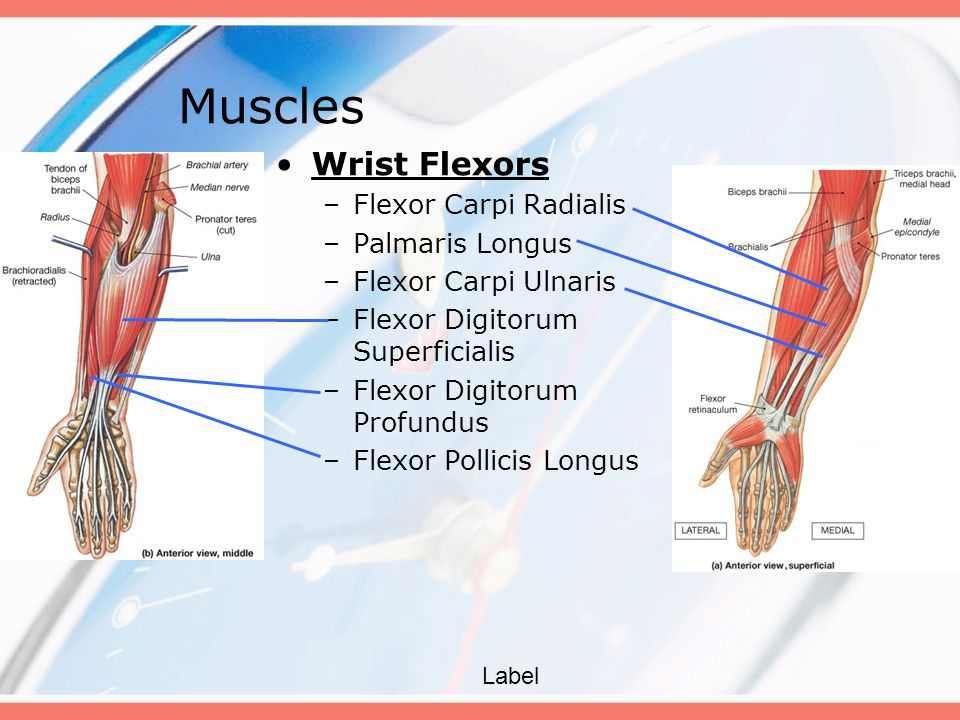 Wrist Flexors –Flexor Carpi Radialis –Palmaris Longus –Flexor Carpi Ulnaris –Flexor Digitorum Superficialis –Flexor Digitorum Profundus –Flexor Pollic