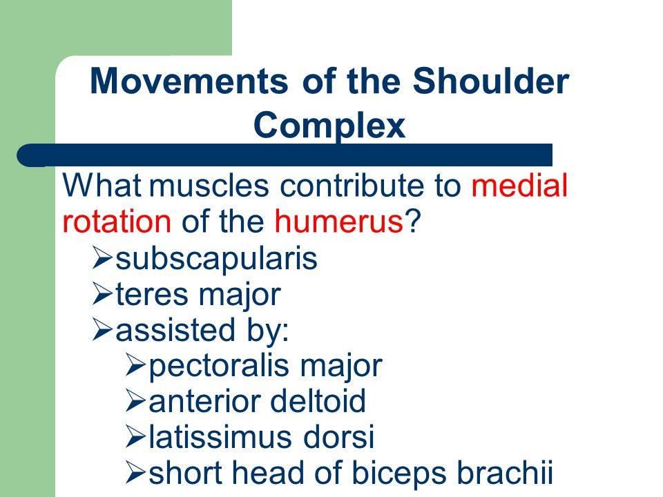 Movements of the Shoulder Complex What muscles contribute to medial rotation of the humerus?  subscapularis  teres major  assisted by:  pectoralis