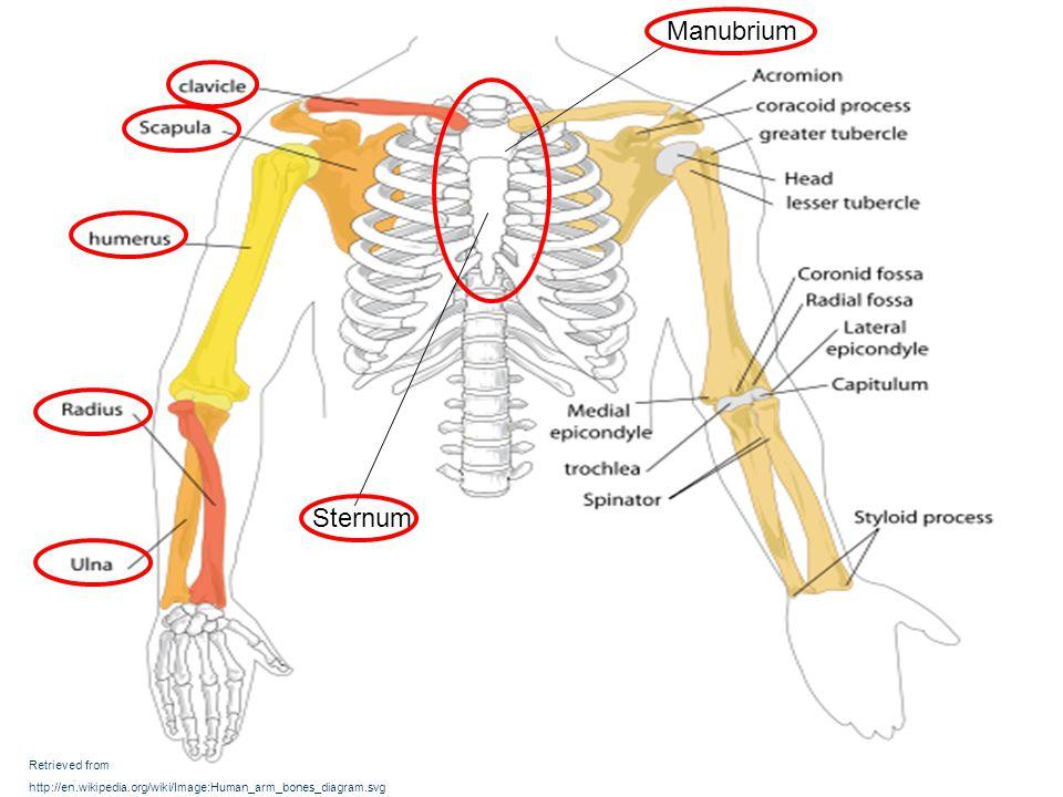 Retrieved from http://en.wikipedia.org/wiki/Image:Human_arm_bones_diagram.svg Sternum Manubrium
