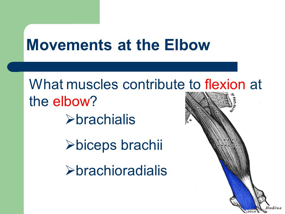 Movements at the Elbow What muscles contribute to flexion at the elbow?  brachialis  biceps brachii  brachioradialis