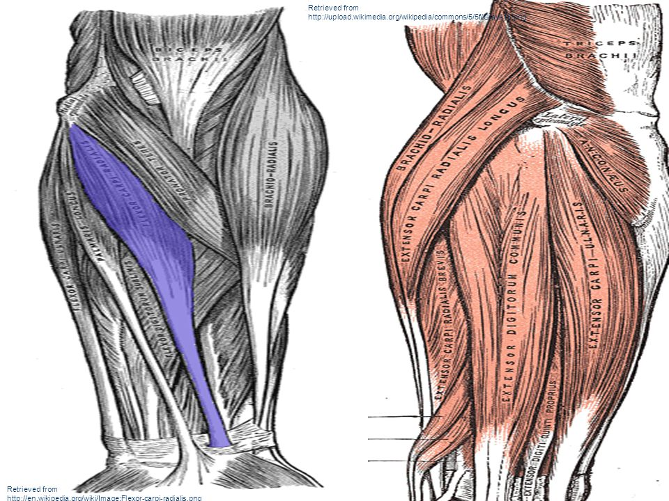 Retrieved from http://upload.wikimedia.org/wikipedia/commons/5/5f/Gray418.png Retrieved from http://en.wikipedia.org/wiki/Image:Flexor-carpi-radialis.