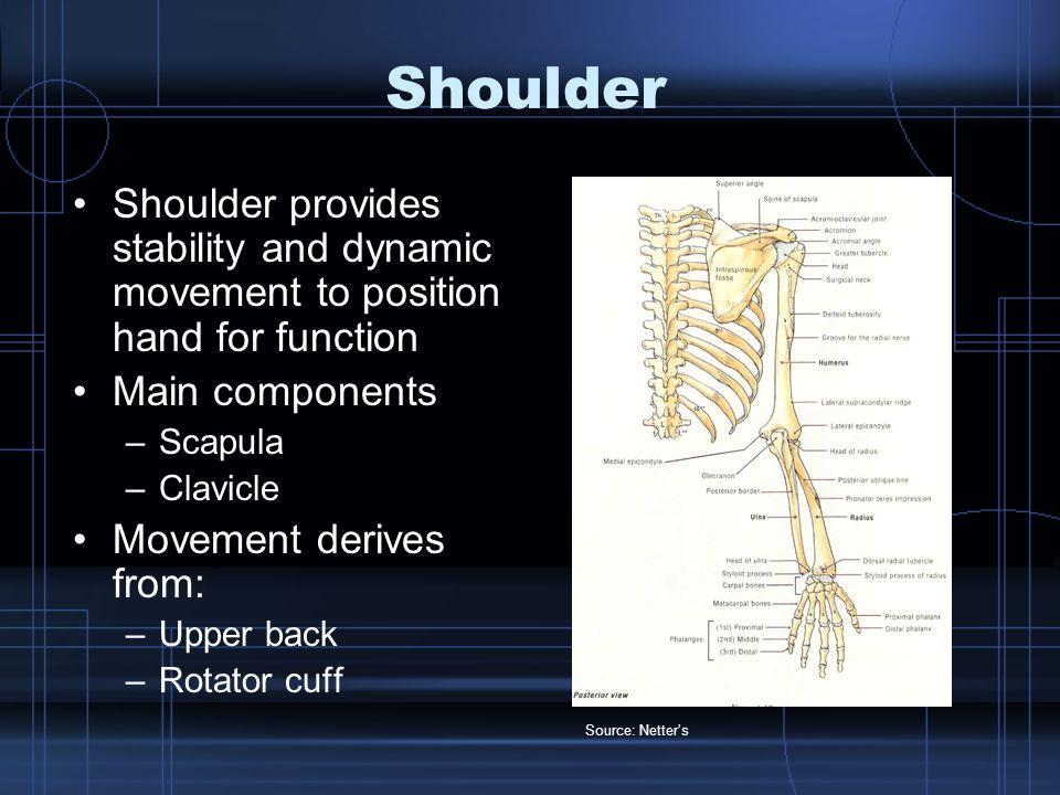 Upper arm and forearm Bony structure –Humerus –Radius –Ulna Movements derive from: –Flexors –Extensors –Supinators –Pronators Source: Netter's Anatomy