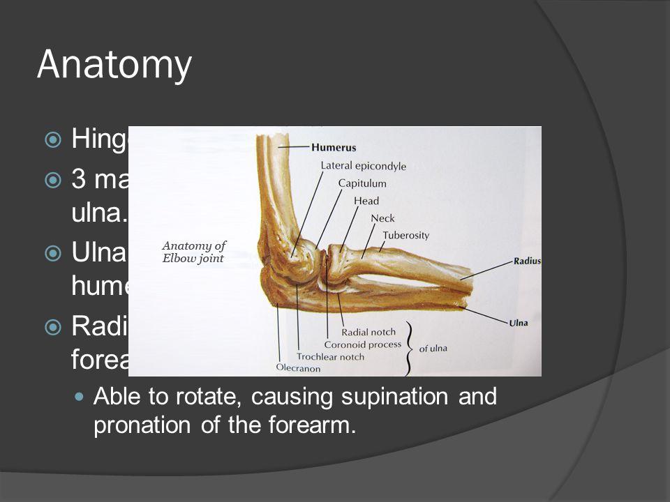 Anatomy  Hinge joint  3 major bones: humerus, radius, and ulna.