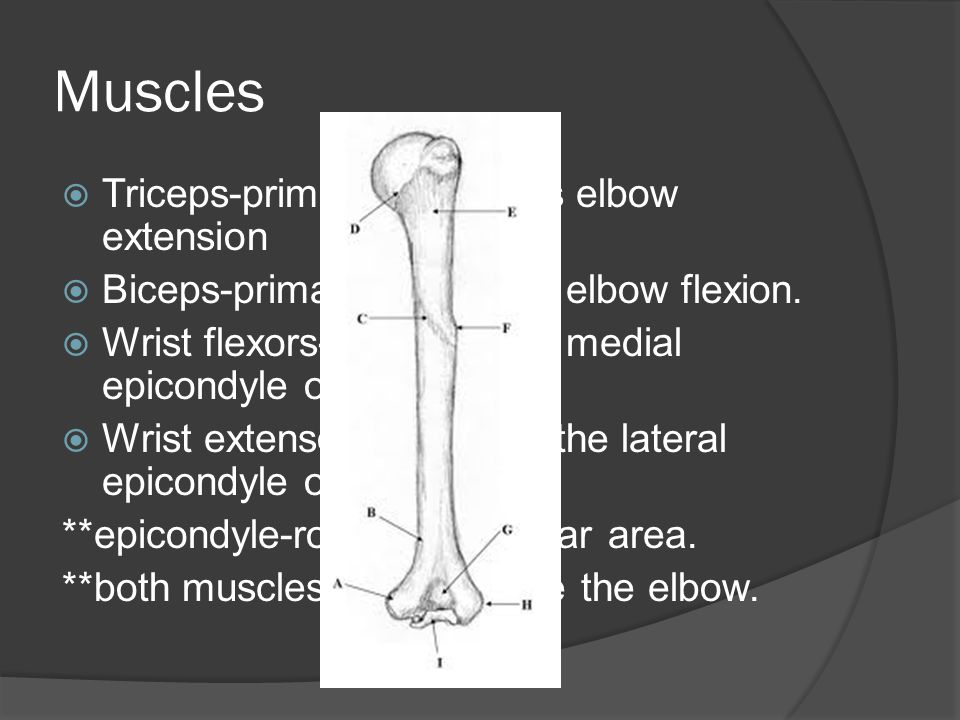 Muscles  Triceps-primarily performs elbow extension  Biceps-primarily performs elbow flexion.