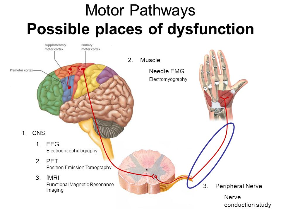 Motor Pathways Possible places of dysfunction 2. Muscle Needle EMG Electromyography 1.CNS 1.EEG Electroencephalography 2.PET Positron Emission Tomogra
