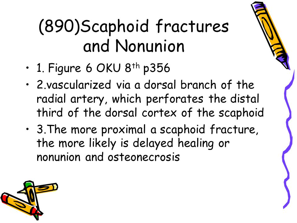 (890)Scaphoid fractures and Nonunion 1. Figure 6 OKU 8 th p356 2.vascularized via a dorsal branch of the radial artery, which perforates the distal th