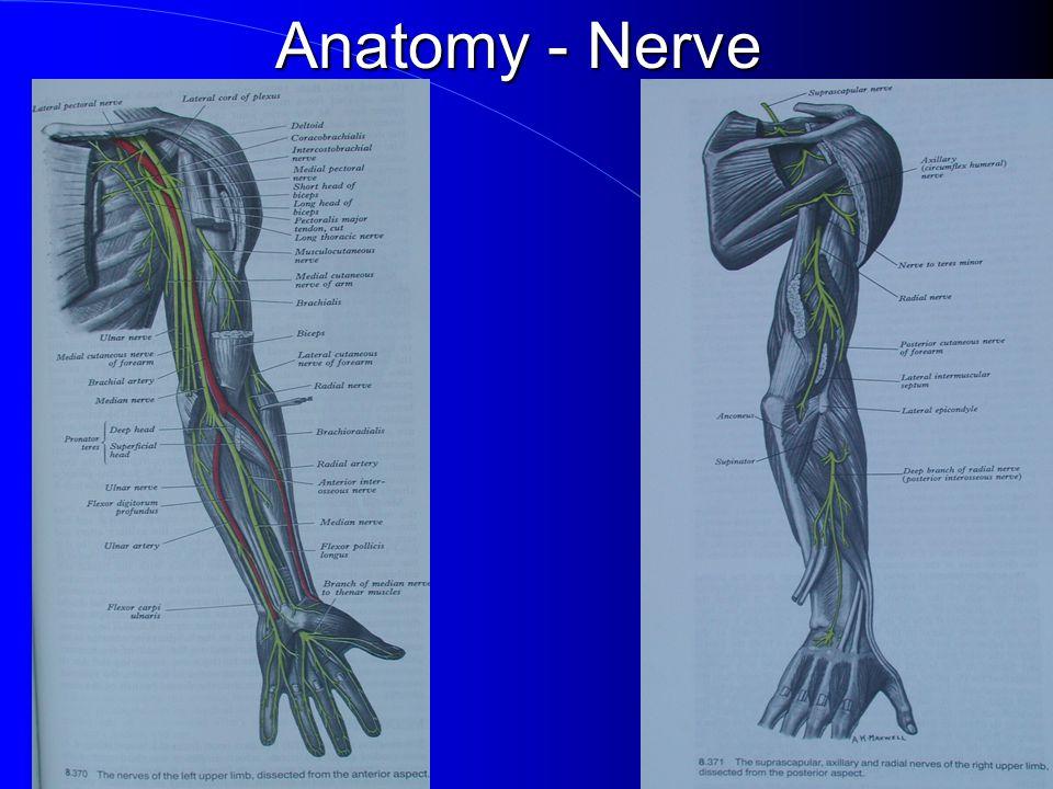 Anatomy - Nerve