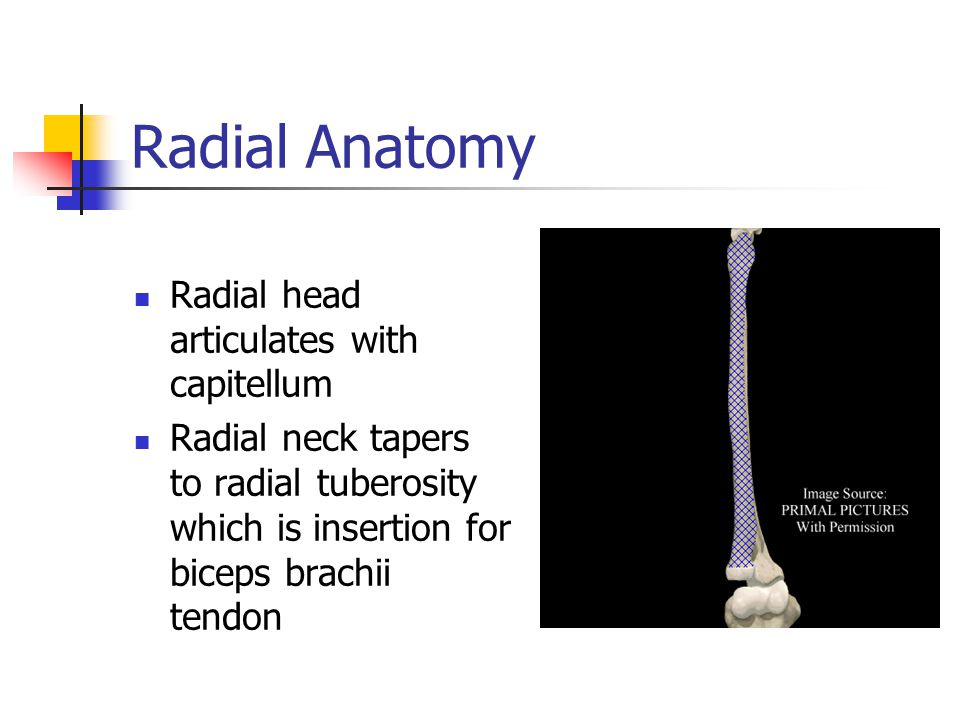 Radial Anatomy Radial head articulates with capitellum Radial neck tapers to radial tuberosity which is insertion for biceps brachii tendon