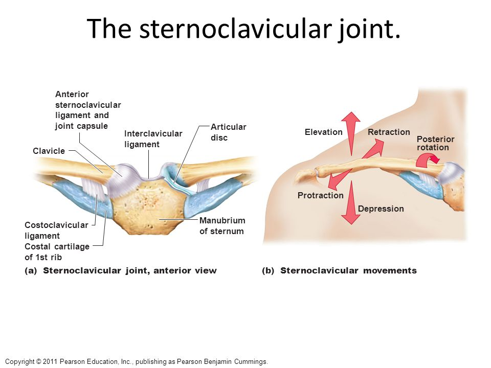 Copyright © 2011 Pearson Education, Inc., publishing as Pearson Benjamin Cummings. The sternoclavicular joint. Anterior sternoclavicular ligament and