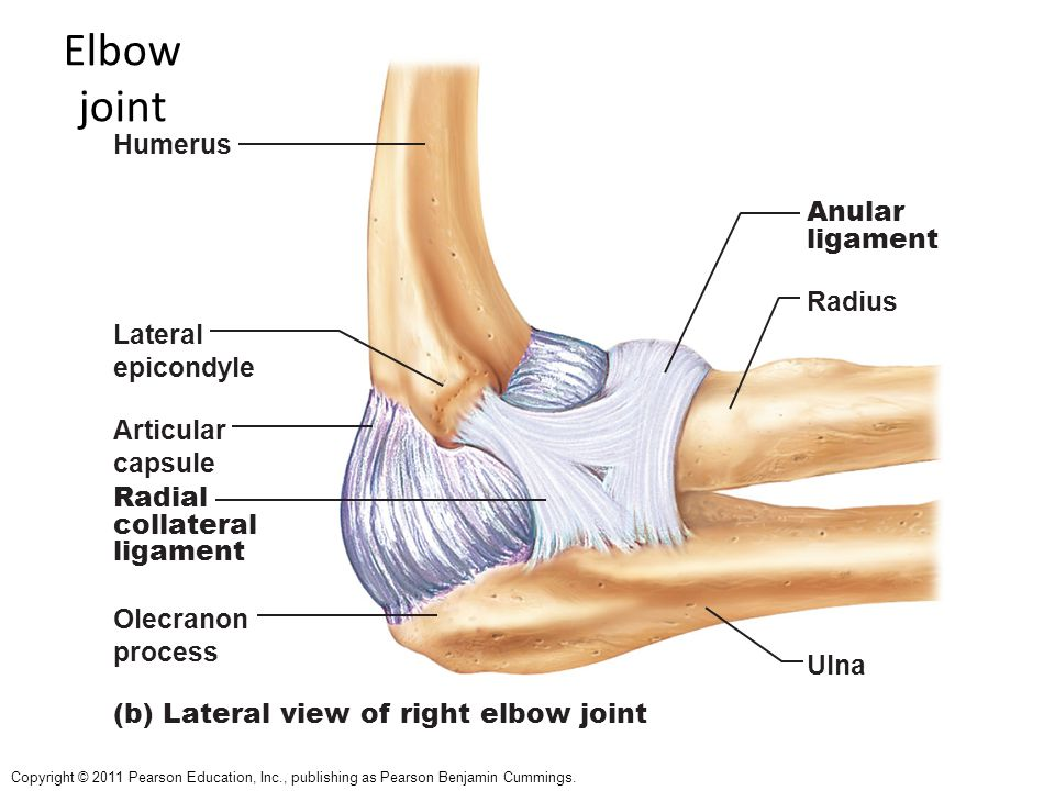 Perfect Right Elbow Anatomy Images - Human Anatomy Images ...