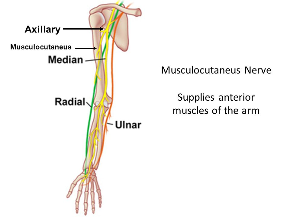 Musculocutaneus Nerve Supplies anterior muscles of the arm Axillary Musculocutaneus