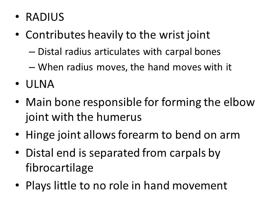RADIUS Contributes heavily to the wrist joint – Distal radius articulates with carpal bones – When radius moves, the hand moves with it ULNA Main bone