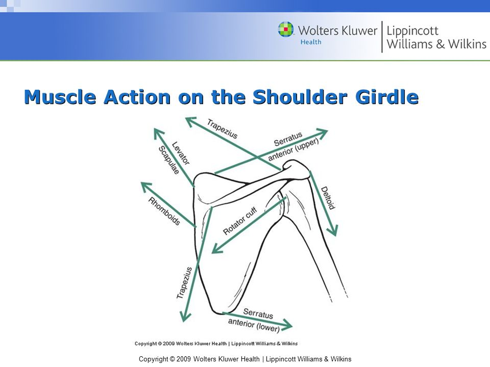 Copyright © 2009 Wolters Kluwer Health | Lippincott Williams & Wilkins Muscle Action on the Shoulder Girdle