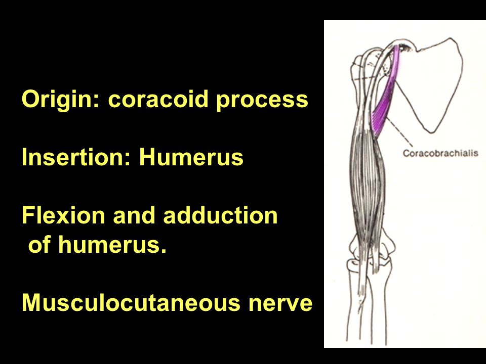 Origin: coracoid process Insertion: Humerus Flexion and adduction of humerus. Musculocutaneous nerve