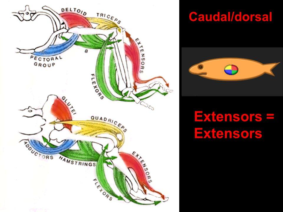 Extensors = Extensors Caudal/dorsal