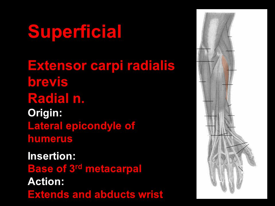 Superficial Extensor carpi radialis brevis Radial n. Origin: Lateral epicondyle of humerus Insertion: Base of 3 rd metacarpal Action: Extends and abdu