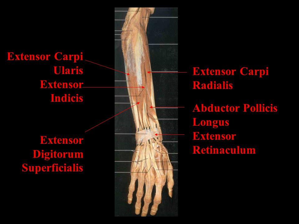 Extensor Carpi Radialis Abductor Pollicis Longus Extensor Retinaculum Extensor Carpi Ularis Extensor Indicis Extensor Digitorum Superficialis