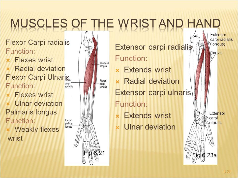 6-25 Extensor carpi radialis (longus) (brevis ) Extensor carpi ulnaris Fig 6.23a Extensor carpi radialis Function:  Extends wrist  Radial deviation