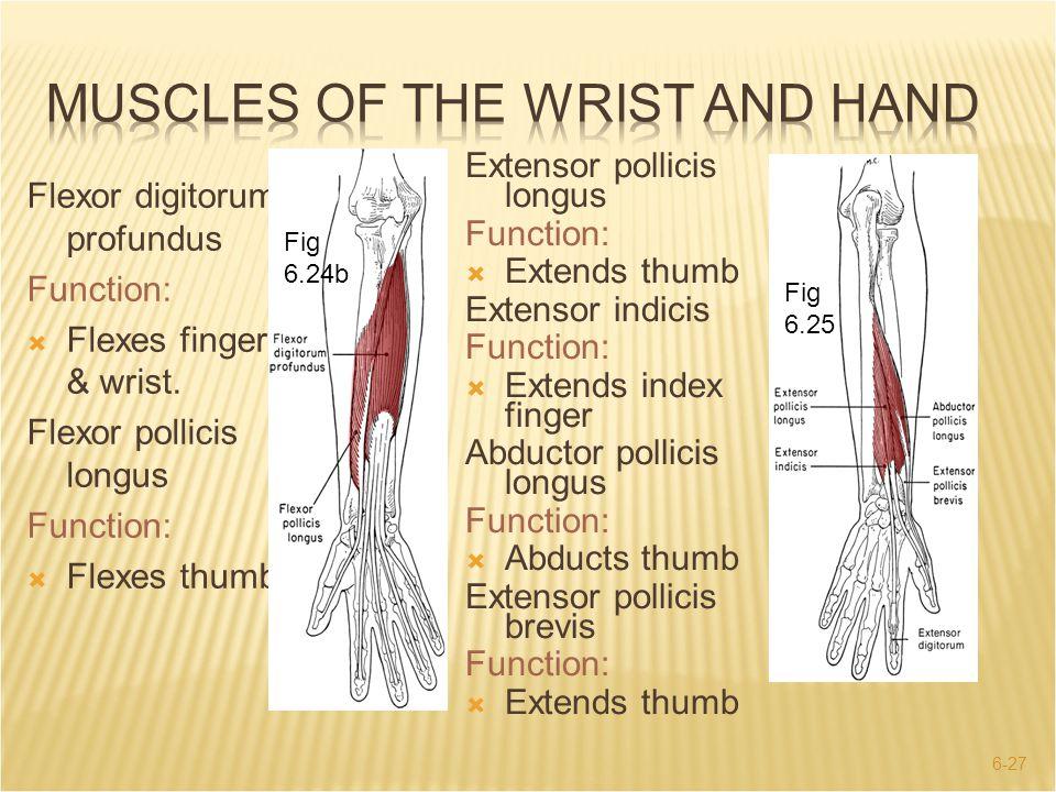6-27 Fig 6.25 Flexor digitorum profundus Function:  Flexes fingers & wrist. Flexor pollicis longus Function:  Flexes thumb. Fig 6.24b Extensor polli
