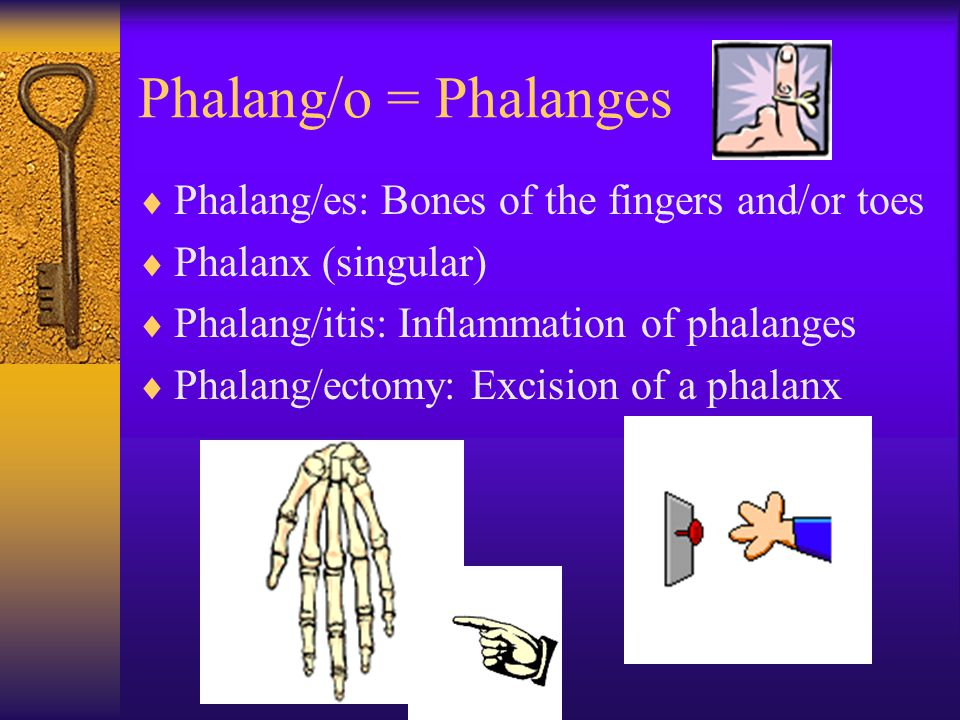 Phalang/o = Phalanges  Phalang/es: Bones of the fingers and/or toes  Phalanx (singular)  Phalang/itis: Inflammation of phalanges  Phalang/ectomy: Excision of a phalanx